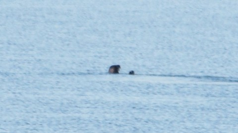 North American River Otter in Long Island Sound