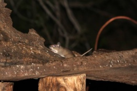 Pocket Mice (Chaetodipus/Perognathus sp.) & Packrat (Neotoma sp.) ID- Portal, Arizona