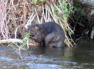 Mojave River Beavers