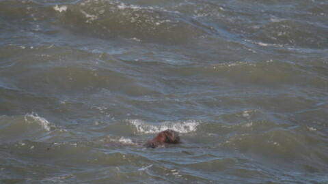 Walrus in the Netherlands