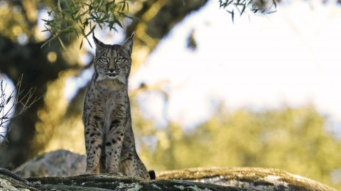 Iberian Lynx Tours Available for EU citizens and people from 15 other countries