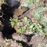 Rat, Lemi - Debre Birhan