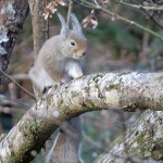 JapaneseSquirrelIMG_2830