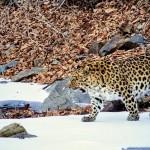 Leopard - Russia (3)