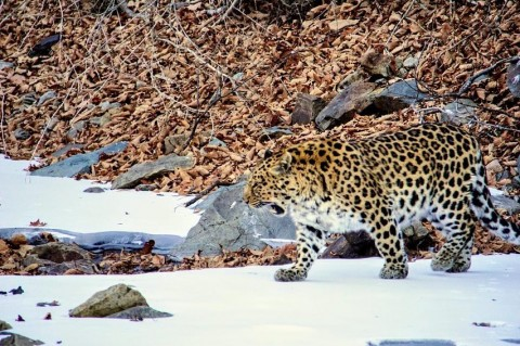 Amur Leopard & Siberian Tiger Success – Next Available Trips