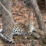 Leopard - Russia (3) (FB)