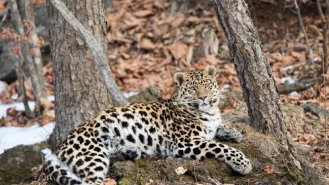 Amur Leopard Photography Tour February 2019