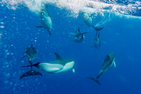 Dolphin identification in Azores