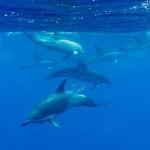 MAMMALAGAMI-Clymene-Dolphin-Azores-Vincent-Legrand-20190704VL4510