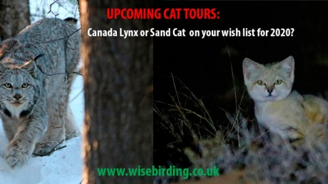 Advertising: Upcoming Cat Tours with Wise Birding