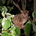 Marbled Cat - Borneo
