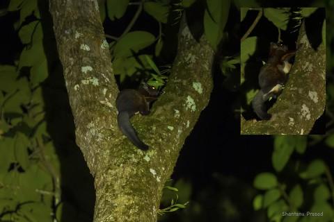 Flying squirrel ID help needed. Namdapha ?