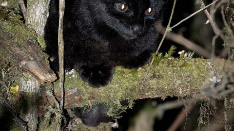 Melanistic Oncilla in Panama – February 25, 2020