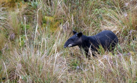 Rare Andean Mammals Tour – Trip Report – Royle Safaris – November 2019