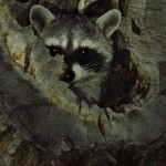 Raccoon in tree cavity home-Madera canyon-mammal site