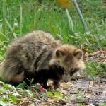 RaccoonDogIMG_3103