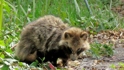 Japanese Raccoon Dog (Nyctereutes procynoides viverrinus)