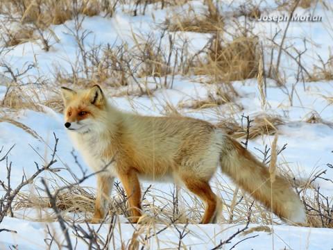 Red Fox (Vulpes vulpes schrencki)