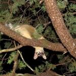 Ringtail-Madera Canyon (1)-mammal site