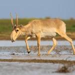 Saiga_antelope_at_the_Stepnoi_Sanctuary