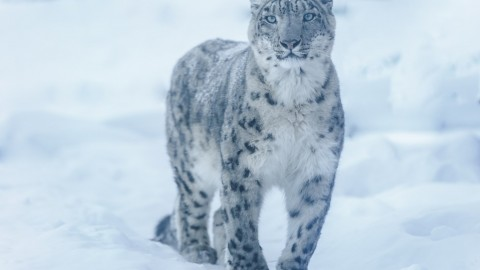 New Mammal Trips: Snow Leopards in Tibet /  Rare Mammals in Borneo