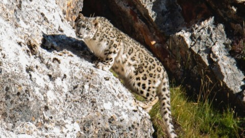Advertising: Tibet Snow Leopard Wildlife Expedition. September 2020