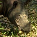 Sumatran Rhino - Indonesia (2)