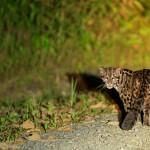 Sunda Clouded Leopard - Borneo (2)