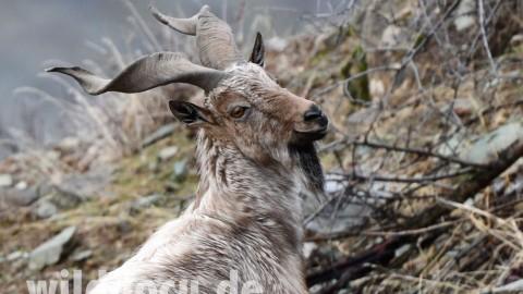 Wildlife in the Darwaz Mountains of Tajikistan