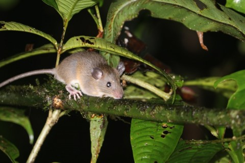 Help! ID questions of Bornean Rats, mice and small flying squirrels…