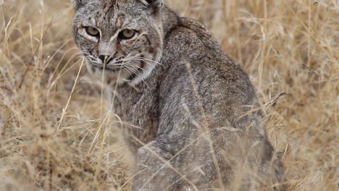 New Southern California Bobcat Site