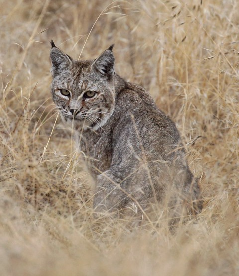 New Southern California Bobcat Site