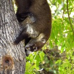 White nosed Coati- Madera Canyon-mammal site
