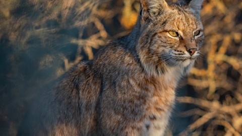 Update on Bobcats in Tucson Arizona