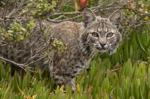 Mammalwatching in the Pacific Northwest with notes on birds and hotspots