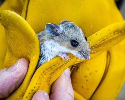 Habitat Notes for California Desert Rodents