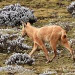 ethiopian-wolf-hybrid