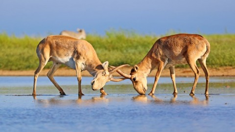 Wild Saiga Antelope Watching and Photography: May 2019