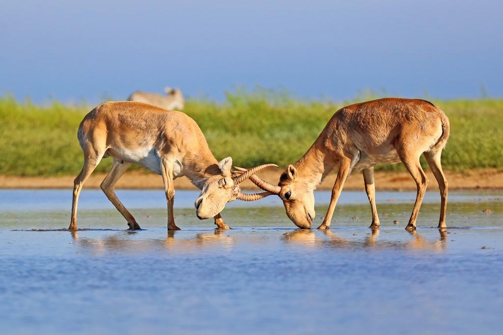 Wild Saiga Antelope Watching and Photography: May 2019