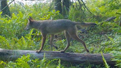 Gray Fox and RFI ideas for Northeast USA?