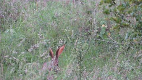 Help with identification of a hare in Kruger NP
