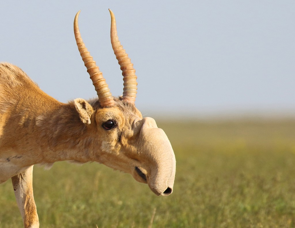 New Dates For Wild Saiga Trip, End Of May 2019