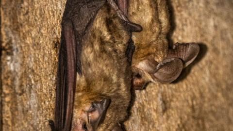 Madera Canyon, Arizona (Pallid Bat Update)