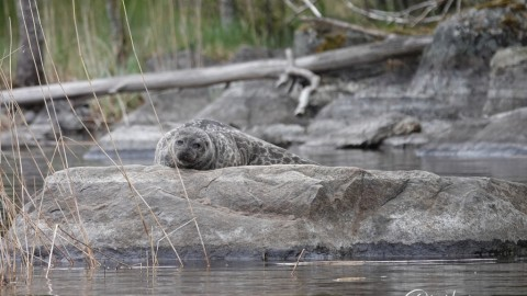 In search of Saimaa Ringed Seal