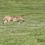 red fox menge nemunas