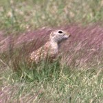 Spotted Ground Squirrel - Spermophilus spilosoma