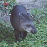 tapir_orig