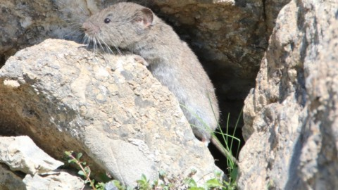 Swiss Alps – Vole ID needed