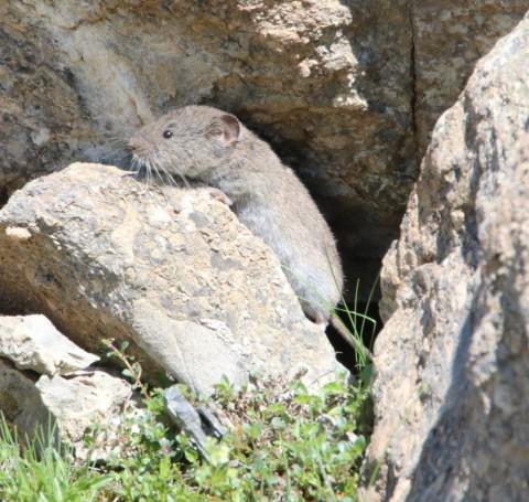 Swiss Alps – Vole ID needed